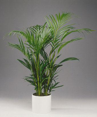 Indendørs palmer